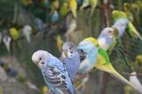 Вълнисти папагали-Птици