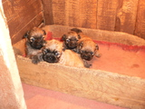 Продавам Пекинези-Кучета