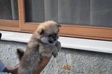 Продавам померани-Кучета