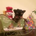 Мини Йоркширски териери продавам (доставка)-Кучета