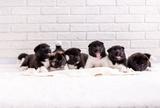 Продавам бебета Американска акита-Кучета