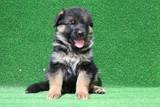 Продавам немска овчарка / немски овчарки-Кучета