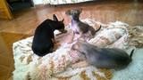 Бебета пинчерчета-Кучета