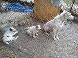 Алабай продавам-Кучета