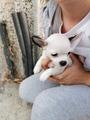 Продавам мъжко кученце чихуахуа,родено на 05.09.2019-Кучета