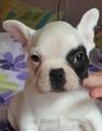 Продавам френски булдог-Кучета
