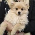 Продавам женско померанче-Кучета