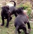 Питбул-Кучета