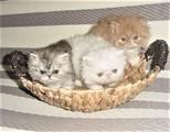 Котета, котета-персийски !-Котки