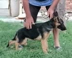 Продавам немска овчарка-Кучета