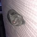 Британска късокосместа-Котки