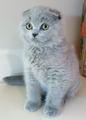 Продавам шотландски клепоухи котета-Котки