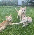 Подарявам мъжки котенца-Котки