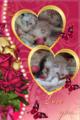 Персийски дългокосмести многоцветни разкошни чаровни любимци!-Котки