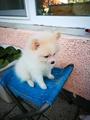 Продавам мини шпиц-Кучета